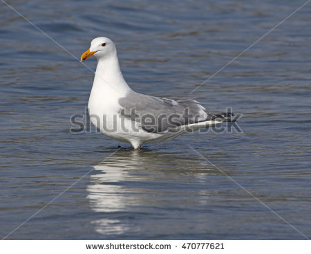 Larus Smithsonianus Stock Photos, Royalty.