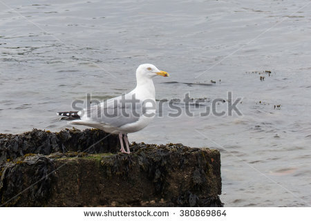 Herring Gulls Stock Photos, Royalty.