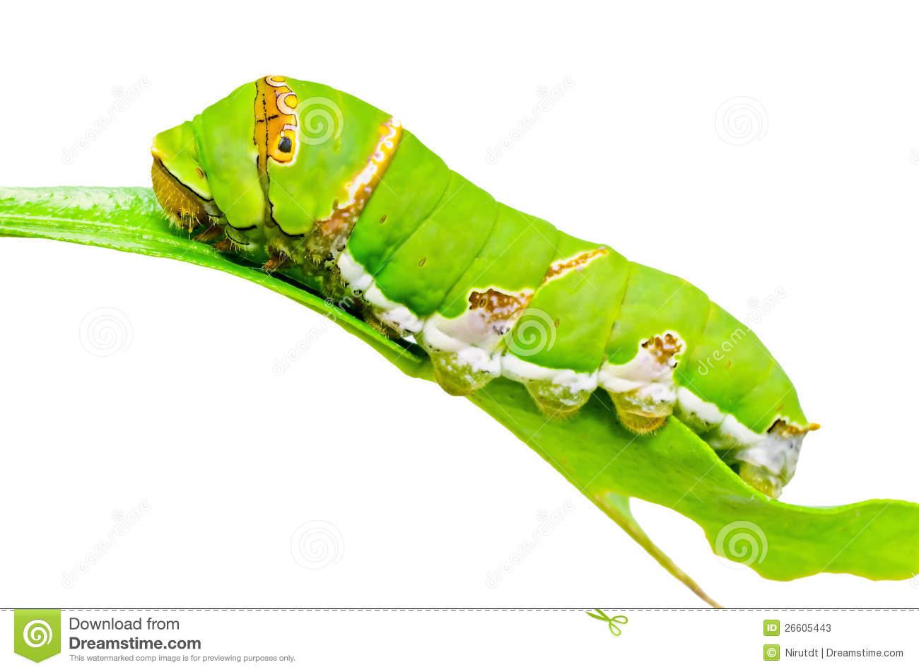 Butterfly Larva Stock Photos.