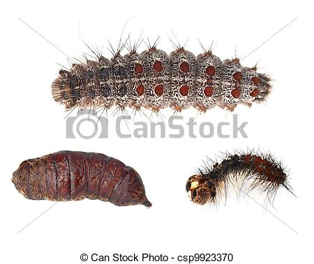 Stock Photography of Gypsy moth caterpillar.