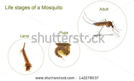 Mosquito Larva Stock Photos, Royalty.