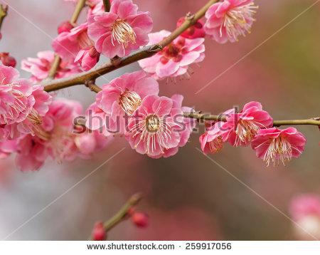 Plum Blossom Stock Photos, Royalty.