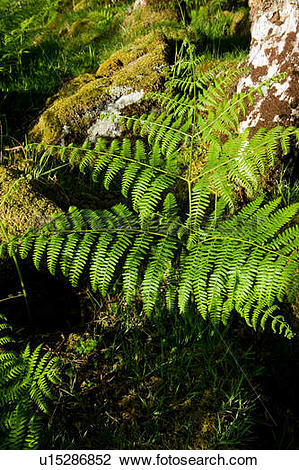 Stock Photo of Ferns in late afternoon sun in oak forest, isle of.