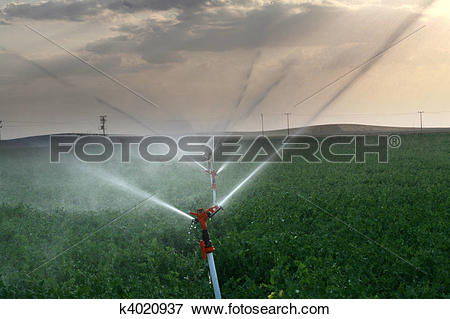 Picture of Irrigation sprinklers water a farm field against late.