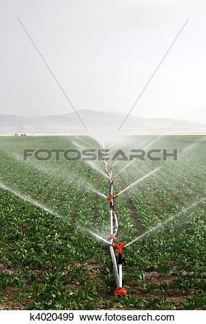 Stock Photograph of Irrigation sprinklers water a farm field.