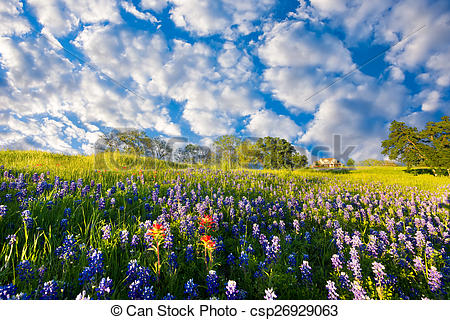 Stock Image of Bluebonnets in Late Afternoon Sun.