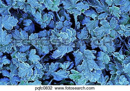 Stock Photo of late autumn, late fall, grass, frost, frosted leaf.
