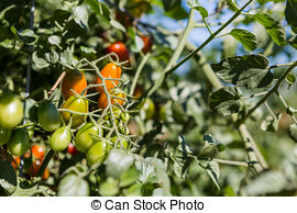Stock Photography of Vegatable garden.