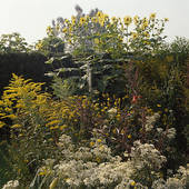 Stock Photo of Solidago and anaphalis in border in large country.