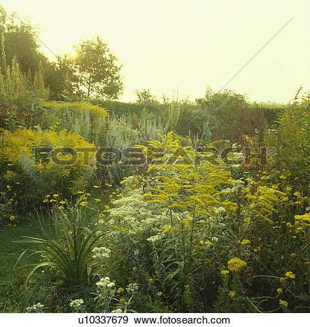 Stock Photograph of Yellow solidago in wildflower border in.
