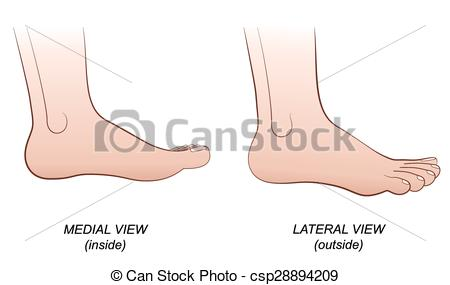 Vector Clipart of Foot Lateral Medial View Inside Out.