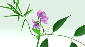 Pink Sweet Pea Lathyrus Odoratus Stock Illustrations.