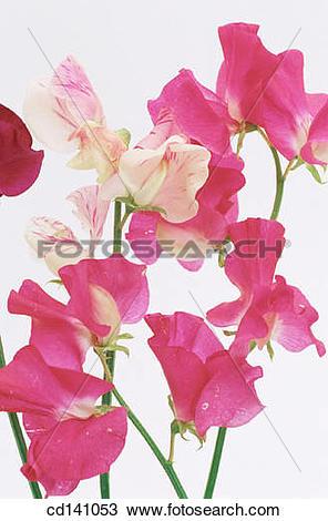 Stock Photo of Sweet Peas (Lathyrus odoratus) cd141053.