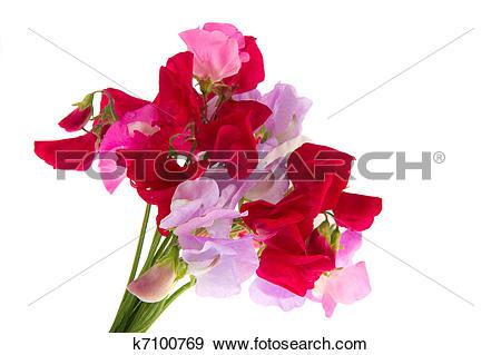 Stock Photograph of Bouquet Lathyrus k7100769.