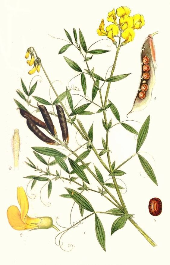 Lathyrus pratensis.Meadow vetchling. groszek polny.