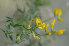 Meadow Vetchling (Lathyrus Pratensis) In Meadow Stock Photo.