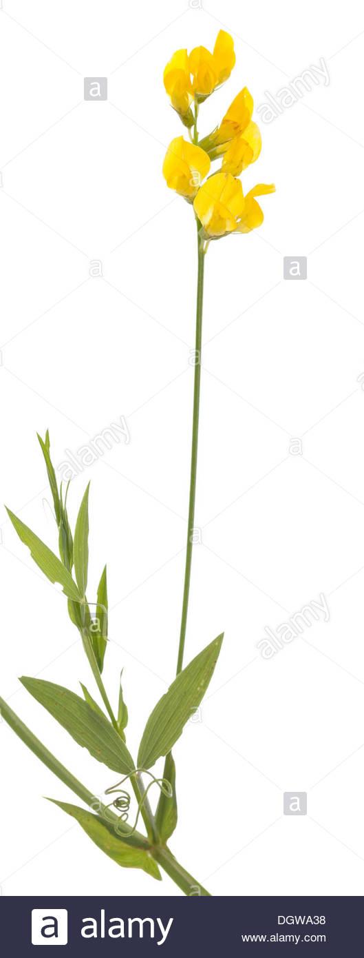 Yellow Wild Pea (lathyrus Pratensis) On White Background Stock.
