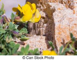 Stock Photo of Lathyrus Mash Pea wildflower.