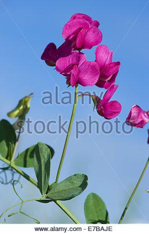 Leguminosae Stock Photos & Leguminosae Stock Images.