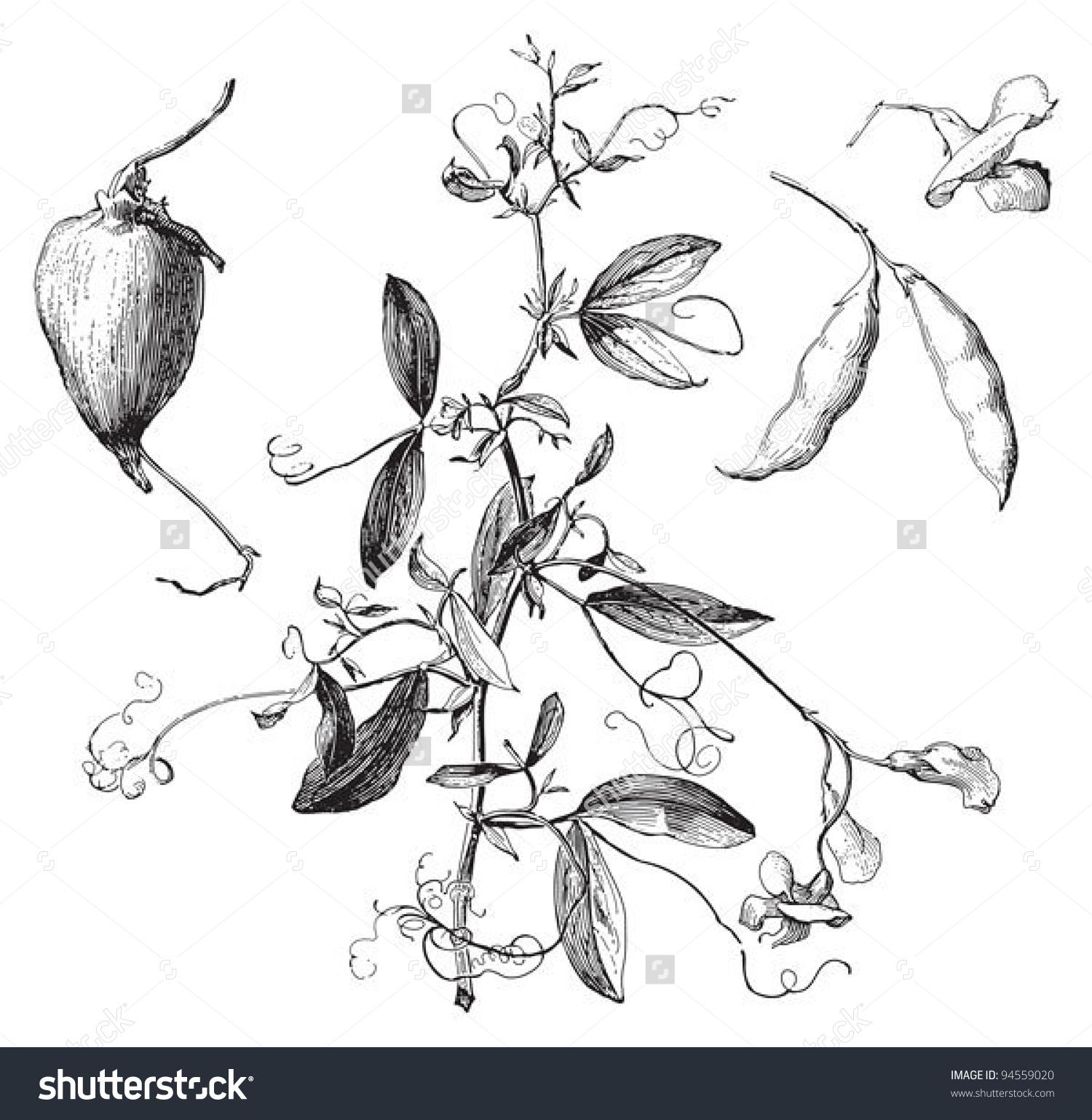 Tuberous Pea (Lathyrus Tuberosus) / Vintage Illustration From.