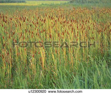 Stock Photography of Broadleaf Cattail (Typha Latifolia) u12300920.