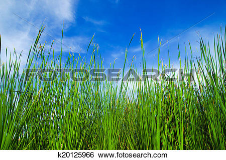 Stock Images of Typha latifolia, Common Bulrush, Broadleaf Cattail.