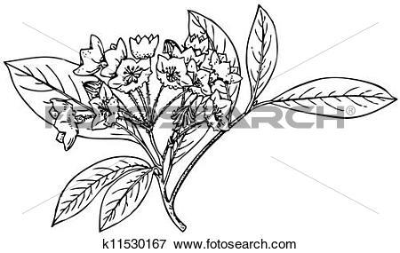 Clip Art of Plant Kalmia latifolia k11530167.