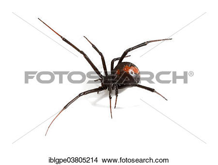 Stock Photo of Redback Spider (Latrodectus hasselti.