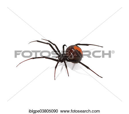 Stock Photography of Redback Spider (Latrodectus hasselti.