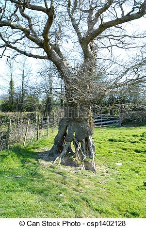 Pictures of Oak tree with lattice work trunk base in field.