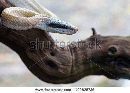 Beauty Rat Snake Stock Photos, Royalty.