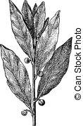 Lauraceae Clipart Vector Graphics. 13 Lauraceae EPS clip art.