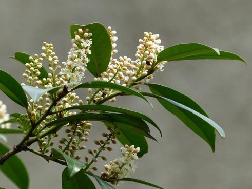 Laurocerasus officinalis free stock photos download (26 Free stock.