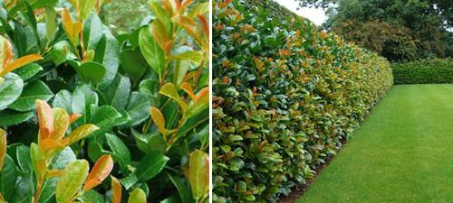 Laurel Etna (Prunus Laurocerasus Etna).