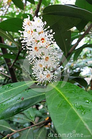 Cherry Laurel Medicinal Laurocerasus Officinalis M. Roem., A.