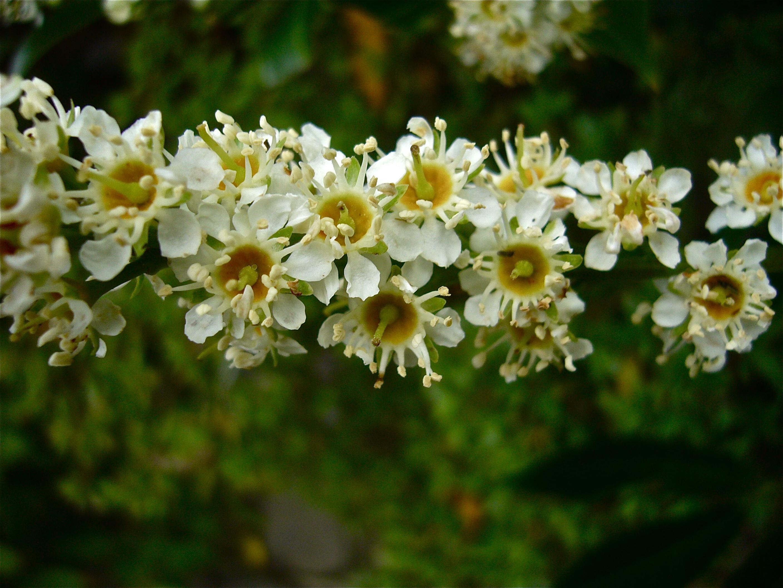 Autumn in my garden: Laurocerasus officinalis (Willem Van Cotthem.