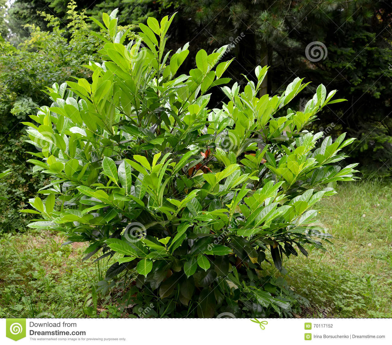 Cherry Laurel Medicinal (Laurocerasus Officinalis M. Roem.) Stock.