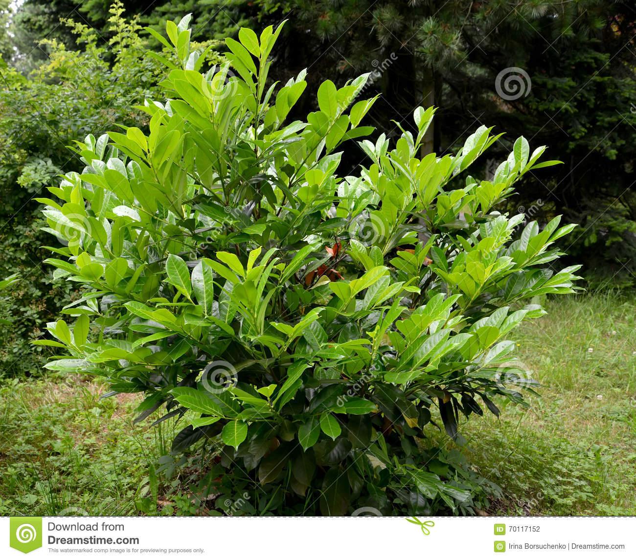 Cherry Laurel Medicinal (Laurocerasus Officinalis M. Roem.) Stock.