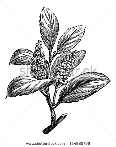 Herb Engraving Stock Photos, Royalty.
