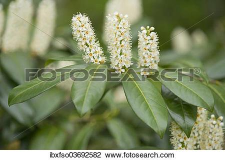 "Stock Photo of ""Cherry Laurel or Common Laurel (Prunus."