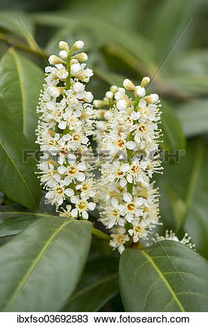 "Stock Photo of ""Cherry Laurel or Common Laurel (Prunus."