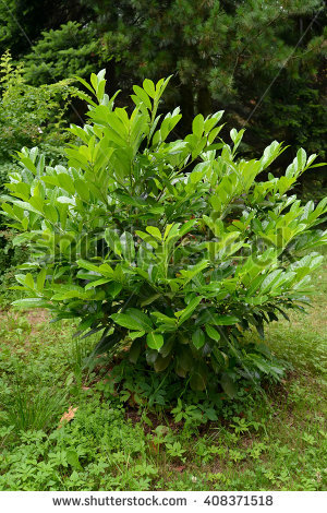 Cherry Laurel Stock Photos, Royalty.