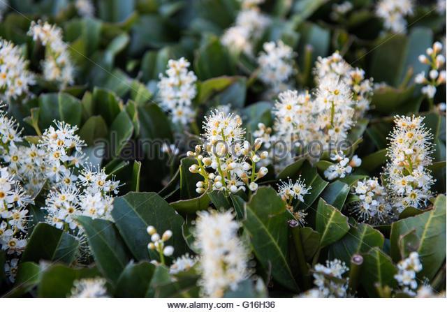 Laurocerasus Officinalis Stock Photos & Laurocerasus Officinalis.