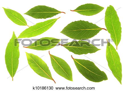 Stock Photography of bay leaves (Laurus nobilis) k10186130.