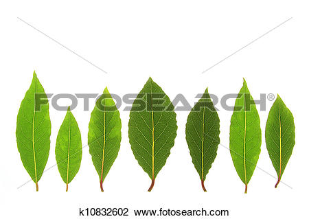 Stock Photo of Bay Laurel Laurus nobilis k10832602.