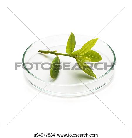 Stock Photo of Bay tree (Laurus nobilis) stem u94977834.