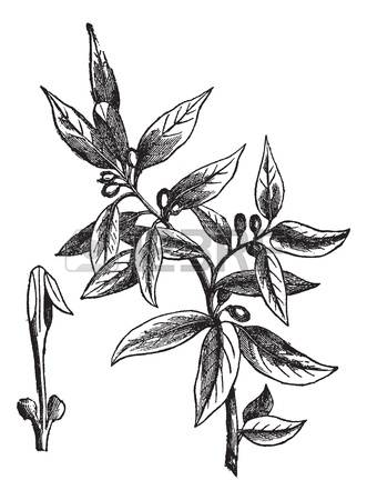 63 Laurus Stock Illustrations, Cliparts And Royalty Free Laurus.