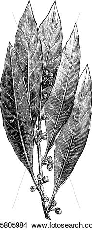 Clipart of Bay Laurel or Laurus nobilis, vintage engraving.
