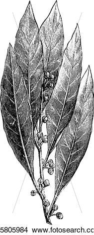 Clipart of Bay Laurel or Laurus nobilis, vintage engraving.