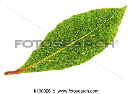 Stock Image of Bay Laurel Laurus nobilis k10832615.